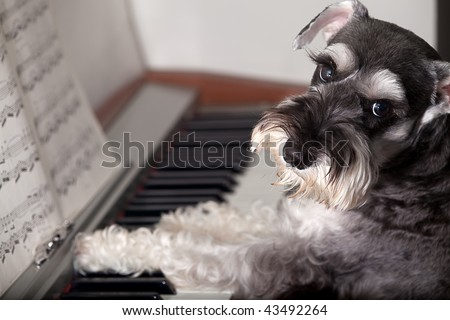 Do you really never seen a dog play the piano? - stock photo