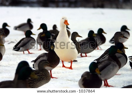 Do you STAND OUT from the crowd?  A picture of a white domesticated duck in a group of Mallard ducks. - stock photo