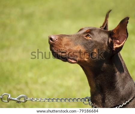 Doberman dog on a chain - stock photo