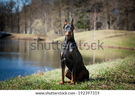 Doberman. dog Outdoors. building background - stock photo