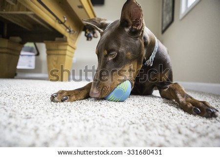 Doberman dog playing with a ball inside.  - stock photo