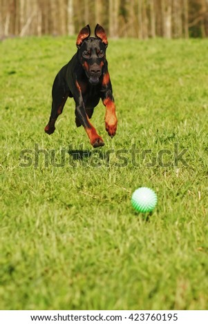 Doberman dog playing with a ball, running fast behind him on the green grass - stock photo