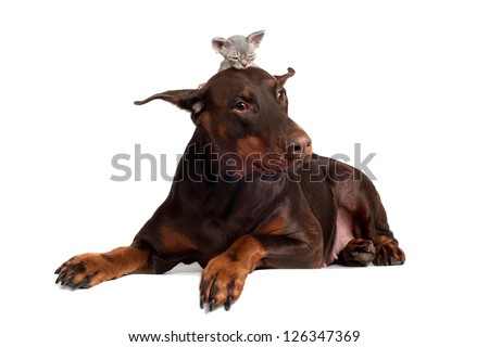 doberman dog with a kitten on its head - stock photo