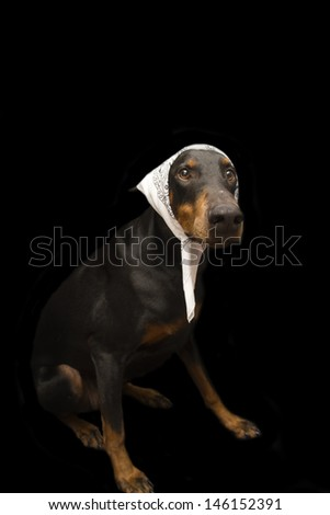 Doberman Dressed up as Old Lady - stock photo