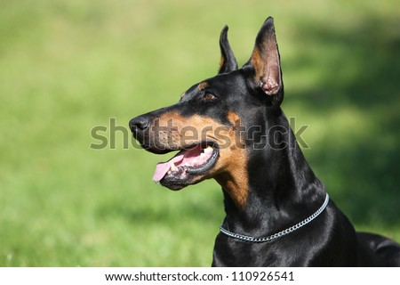 Doberman head study - stock photo