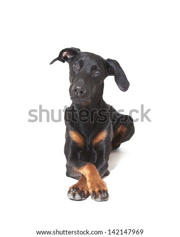 doberman isolated in front of white background, doberman pincher - stock photo