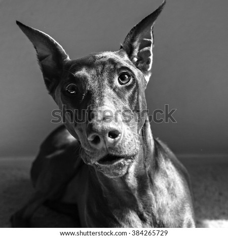 Doberman looking into the camera with mouth parted in black and white - stock photo
