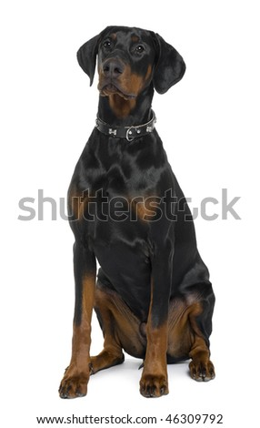 Doberman, 5 months old, sitting in front of white background