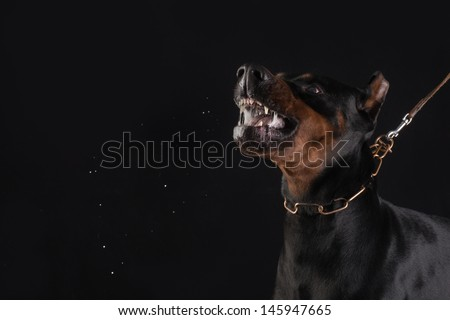 Doberman pincher on black background, growling and ready to bite - stock photo