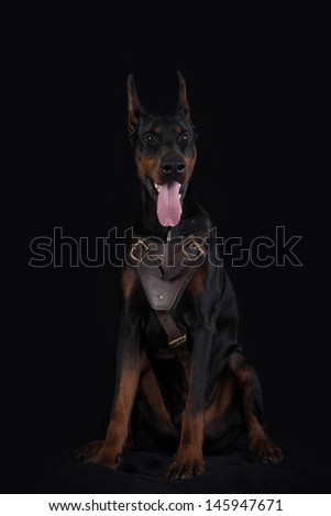 Doberman pincher on black background wearing leather brown harness - stock photo