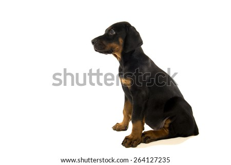 doberman pincher puppy playing with ball isolated on white background - stock photo