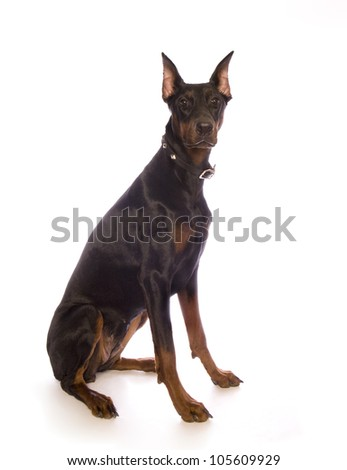 Doberman Pinscher dog sitting isolated on white - stock photo