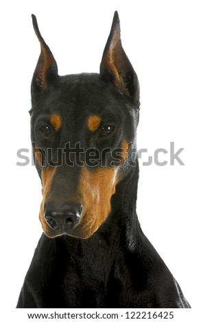 doberman pinscher head profile on white background - stock photo