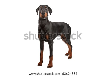 Doberman Pinscher isolated on white - stock photo