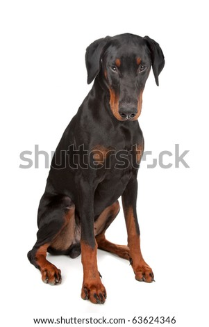 Doberman Pinscher isolated on white