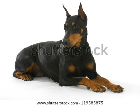 doberman pinscher laying down isolated on white background - stock photo