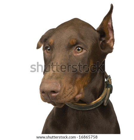 Doberman Pinscher (4 months) in front of a white background - stock photo