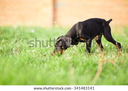 doberman pinscher puppy in garden - stock photo