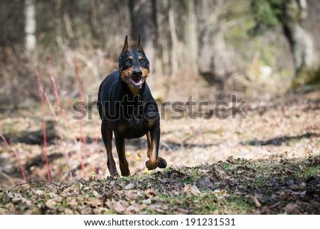 doberman pinscher running in the woods - stock photo