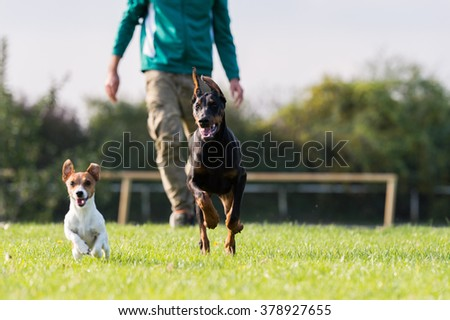 Doberman Pinscher with owner in training