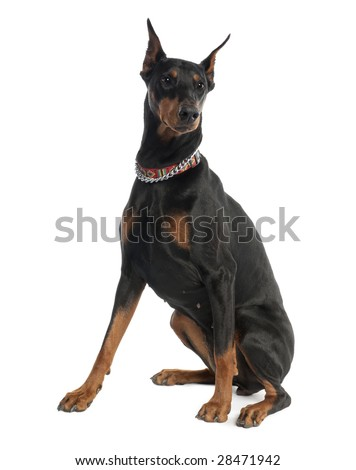 Doberman Pinscher (5 years old) in front of a white background