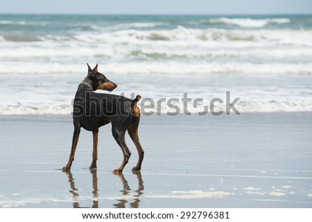 Doberman playing at the seaside