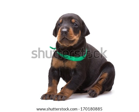 Doberman puppy in green ribbon, isolated on white