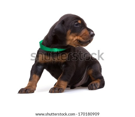 Doberman puppy in green ribbon, isolated on white - stock photo