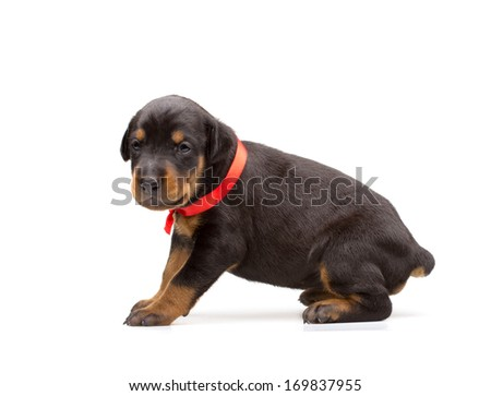 Doberman puppy in red ribbon, isolated on white - stock photo