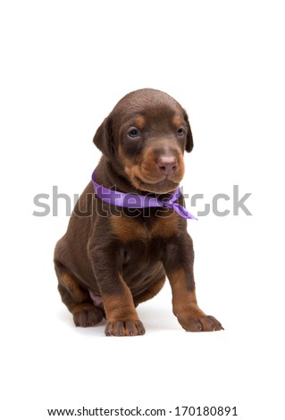 Doberman puppy in violet ribbon, isolated on white - stock photo