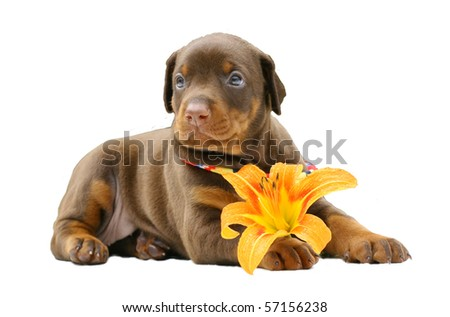 Doberman puppy with yellow flower, isolated - stock photo