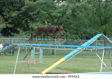 Doberman running over a contact ramp in agility - stock photo