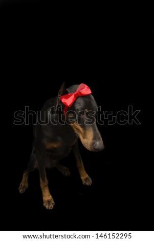 Doberman Shaming in Bow - stock photo