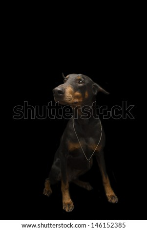 Doberman Wearing Bling