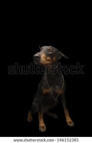 Doberman Wearing Bling - stock photo