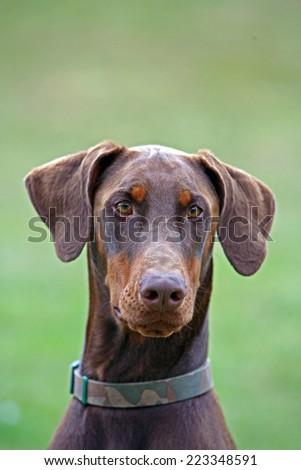 Dobermann Doberman puppy dog - stock photo