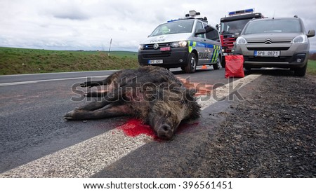 DOBRANY, CZECH REPUBLIC - MARCH 26, 2016: Car accident with wild boar on road between Pilsen and Dobrany. Wild boars are overpopulated, that cause many problems. West Bohemia, Czech republic, Europe.