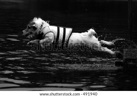 dock diving jack russell terrier