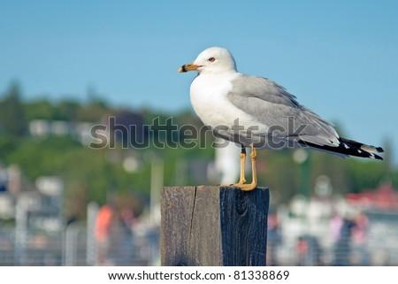 Dock side Sea Gull at marina - stock photo