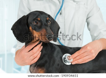 Doctor veterinarian listens dachshund dog in a hospital - stock photo