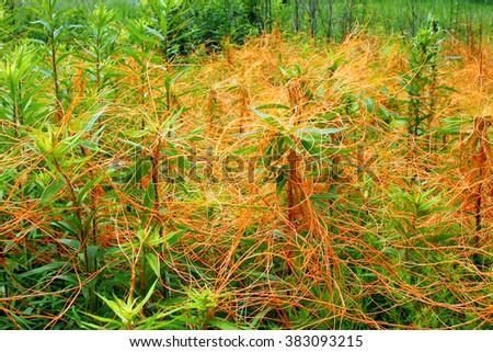 Dodder (Genus Cuscuta) is parasitic and totally dependent on other host plants for survival