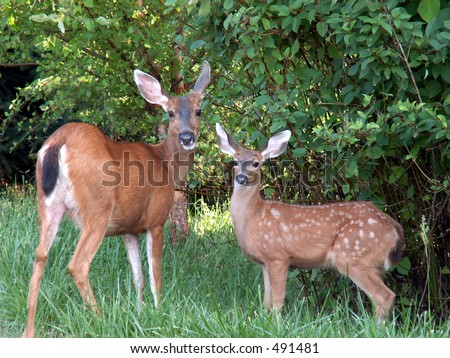Doe mule deer and it's fawn grazing. - stock photo