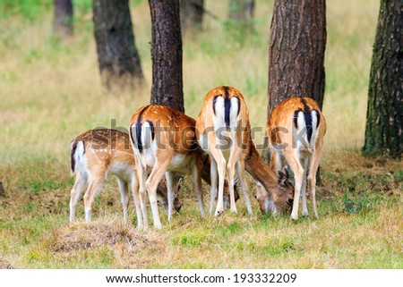 Does (Cervus elaphus) from behind in national park 'Het Aardhuis' at the 'Hoge Veluwe' in the Netherlands - stock photo