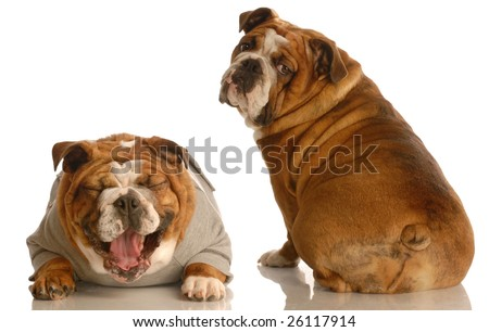 Stock Photo Does This Tail Make My Butt Look Fat Two English Bulldog With Funny Looking Expressions Isolated on Rhinoceros Rear End