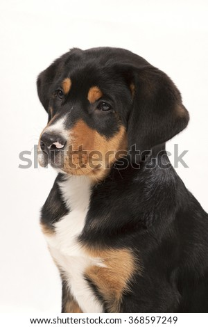 Dog a puppy Greater Swiss Mountain Dog ports his portrait on a white background it black with brown and white spots.