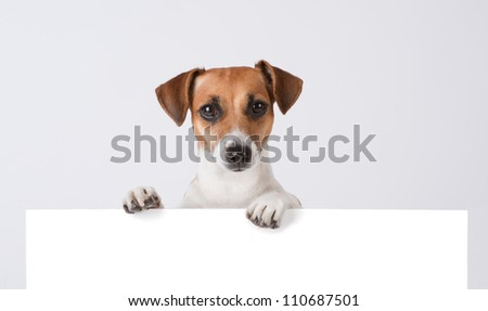 Dog above banner. Cute Jack Russell terrier with empty white banner - stock photo