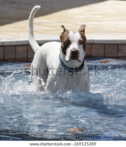 Dog after jumping into a cold pool - stock photo