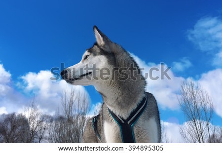 Dog against the blue sky with clouds. Breed of a dog - Siberian huskies. - stock photo