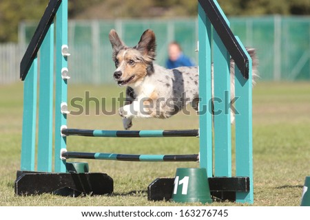 Dog Agility corgi