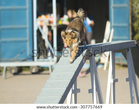 Dog agility in action. Image taken on a summer evening on a sandy track. The dog breed is  shetland sheepdog. - stock photo